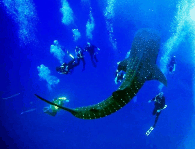 Whale Sharks in Belize