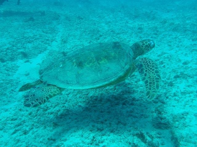 Underwater photo of a turtle with no red filter